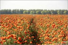 辽宁彰武县公路边种植的大片万寿菊